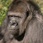 morguefile-IMG_5851-gorilla.jpg